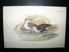 Allen 1890's Antique Bird Print. Dunlin
